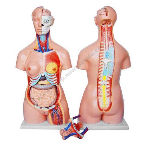 HG0003 3D lik ljudskog torza