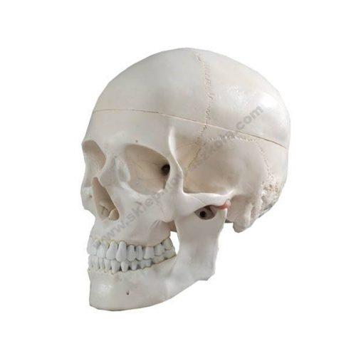 HG0041 3D lik ljudske lubanje