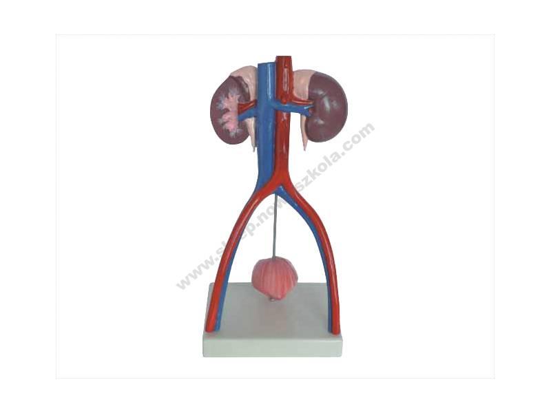 QH0014 3D lik ljudskog urinarnog sustava - Unisex
