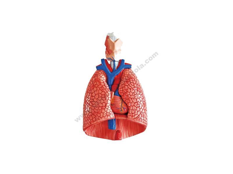 QH0016 Anatomski lik ljudskih organa prsnog koša