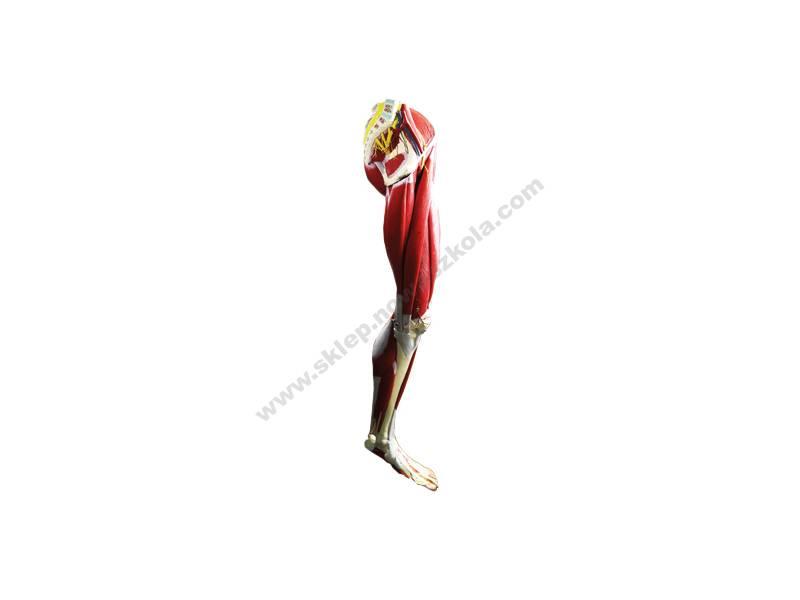 QH0023 3D lik ljudskog mišićnog sustava noge - demonstrativni komplet