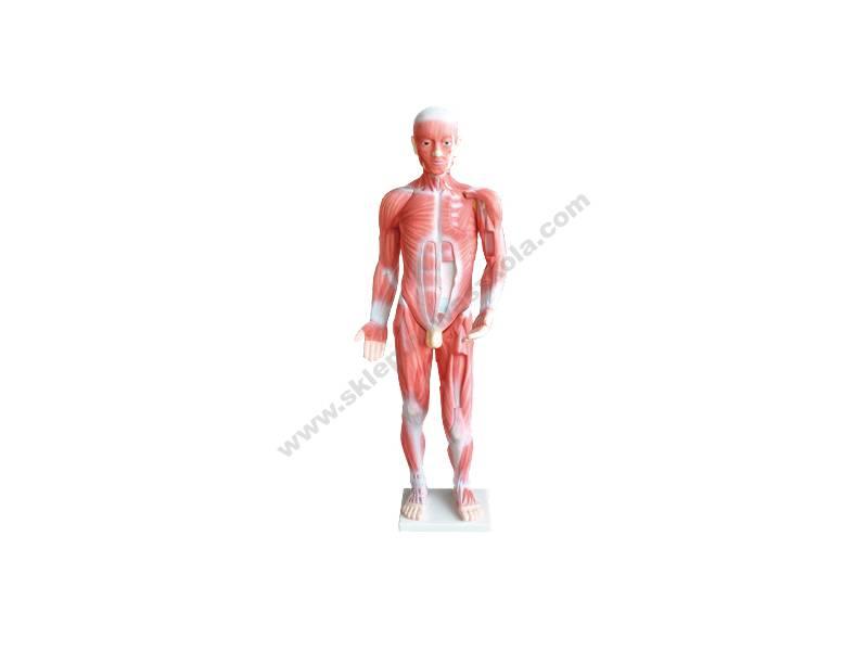 QH0048 3D lik mišićnog sustava ljudskog tijela