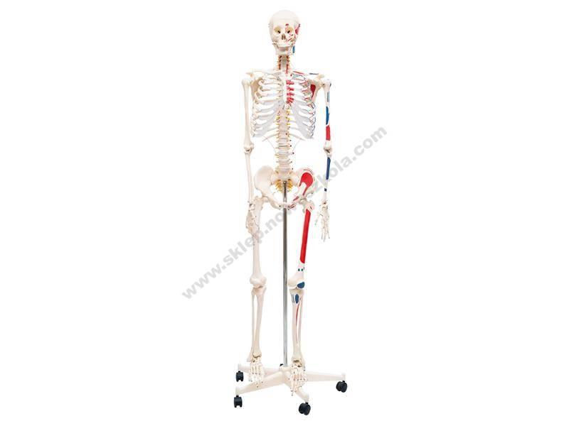 QH3302 3D lik ljudskog kostura s oznakama mišića na lijevoj strani