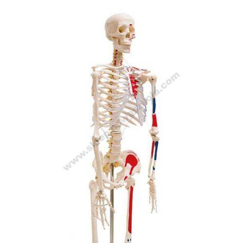 QH3302_1 3D lik ljudskog kostura s oznakama mišića na lijevoj strani