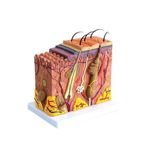 RV3132 Lik ljudskog organa kože