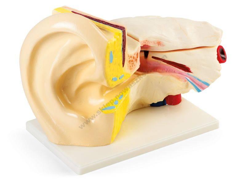 VO6376 Lik osjetila ljudskog uha